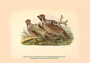 Chinese Grouse or Black-Breasted Hazel Grouse - Tetrastes Sewerzowi